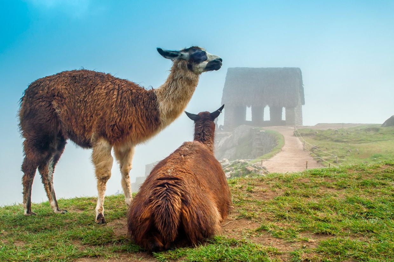 Llama-Machu-Picchu